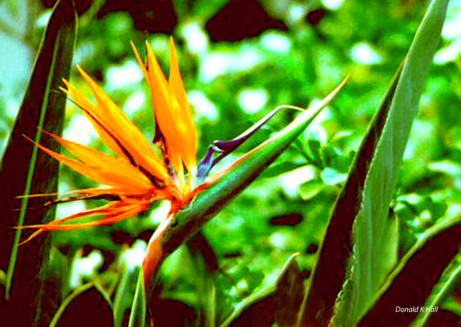 Bird Of Paradise Flower Photograph - F21 Bird Of Paradise Flower by Donald k Hall