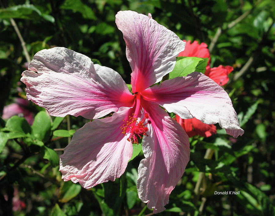 Hibiscus Photograph - F5 Hibiscus Flower Hawaii by Donald k Hall