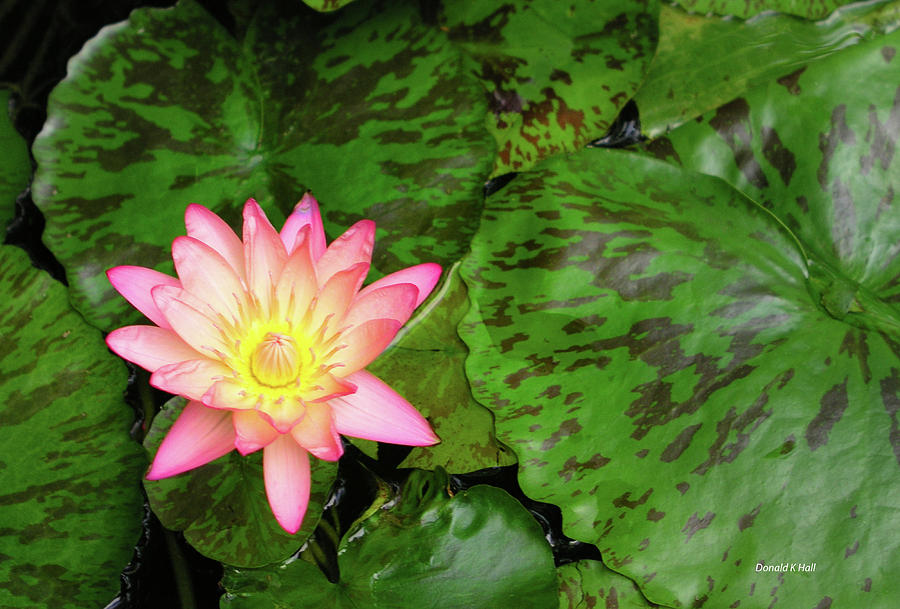 Water Lily Photograph - F6 Water Lily by Donald k Hall