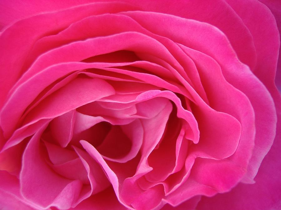 Rose Photograph - Fabric Of Rose by Jacqueline Migell