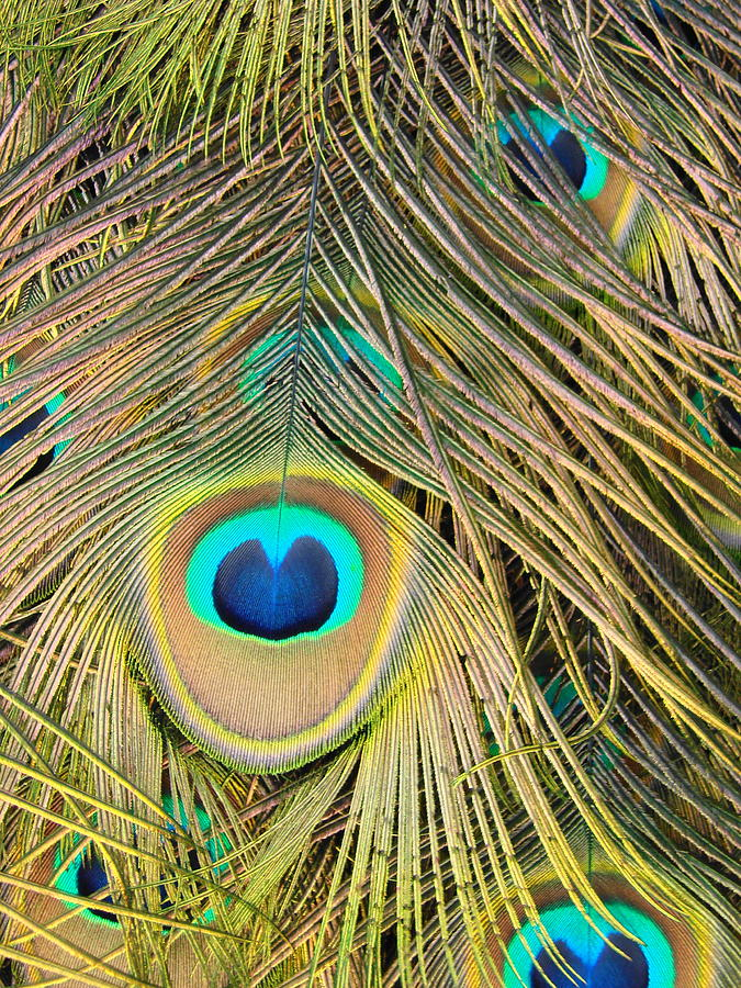 Peacock Photograph - Fabulous Feathers by Margaret Bobb