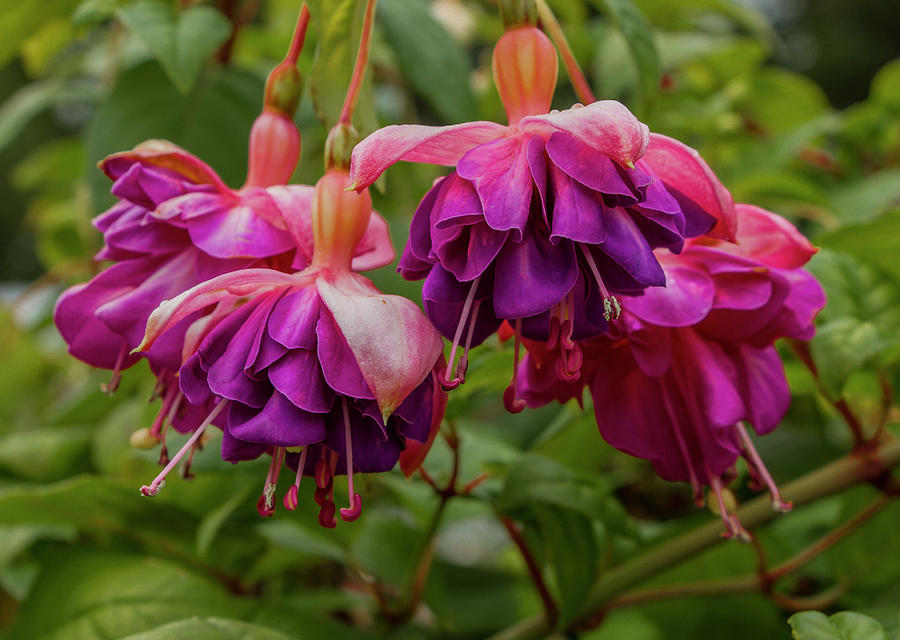 Fabulous Fuchsias by Venetia Featherstone-Witty