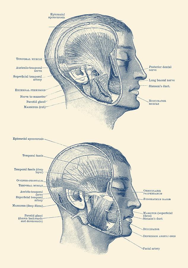 Face Muscular Diagram Dual Side View Vintage Print Drawing By