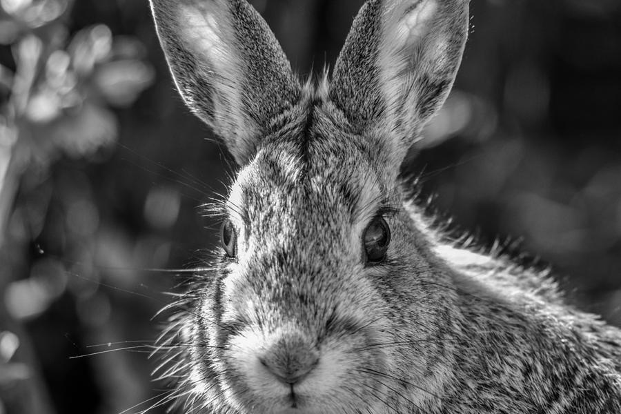 Rabbit Photograph - Face Of A Rabbit In Black And White by Michael Putthoff