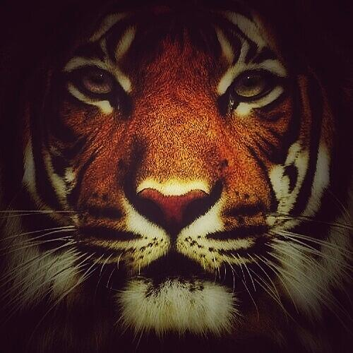 Tiger Photograph - Face of a Tiger by Eddie G