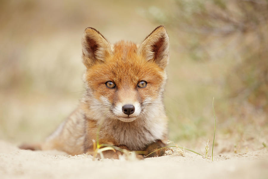Fox Photograph - Face Of Innocence - Red Fox Kit by Roeselien Raimond