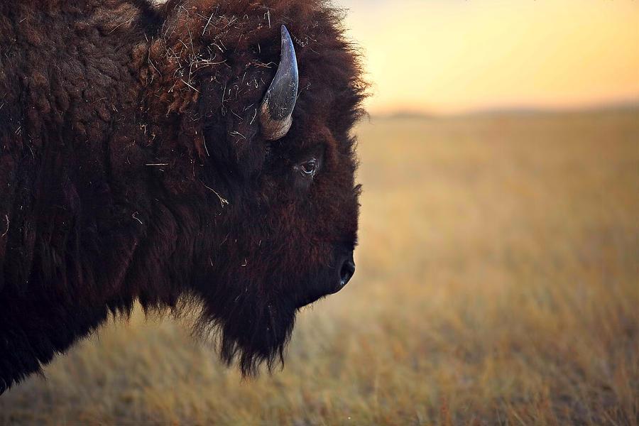 Buffalo Photograph - Face The Day by Deborah Johnson