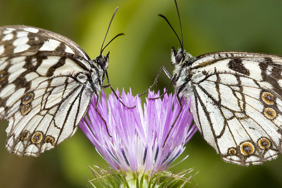 Butterfly Photograph - Face To Face by Andre Goncalves