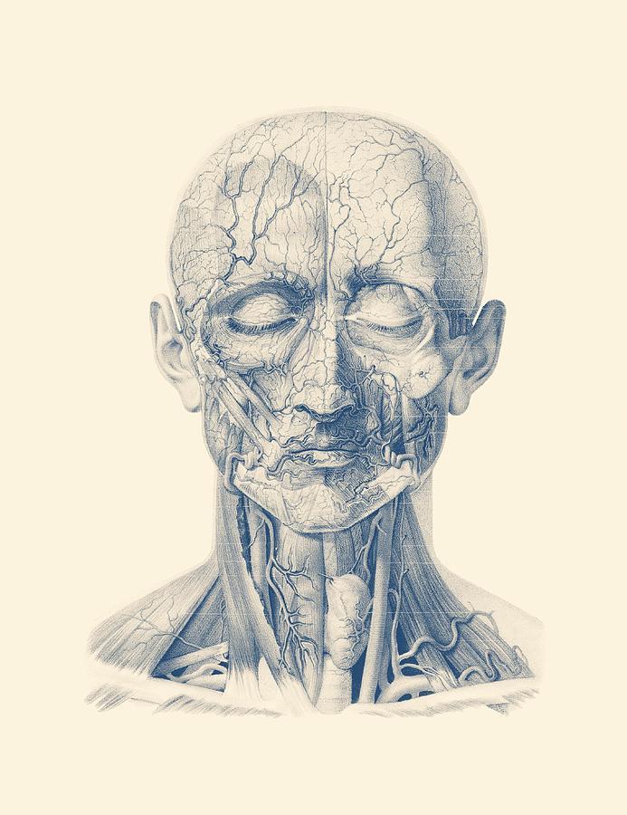 Facial Veins And Arteries Vintage Anatomy Print Drawing By Vintage