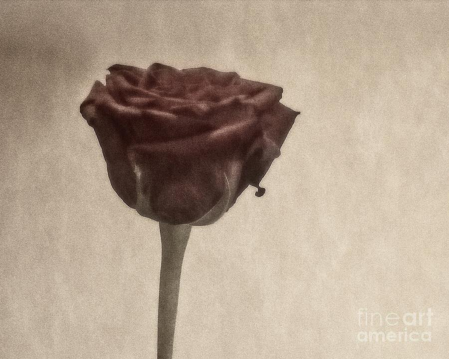 Faded Rose Photograph