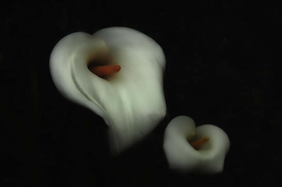 Calle Lilly Photograph - Fading Beauty by Donna Blackhall