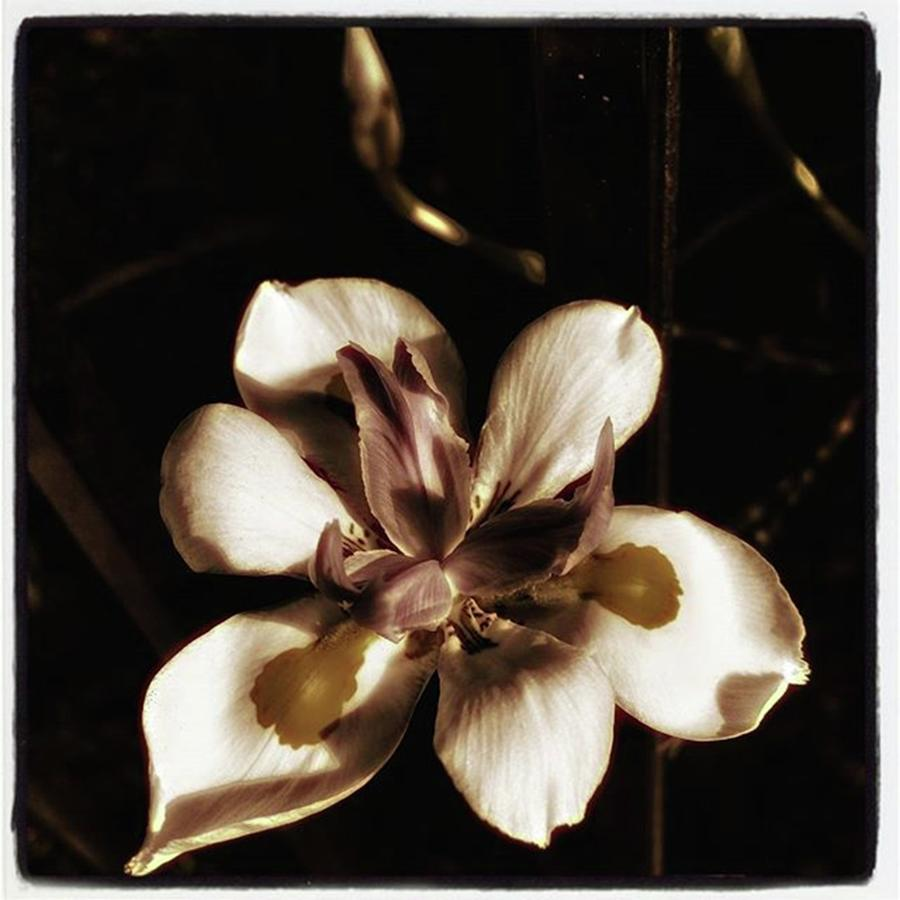 Flower Photograph - Fairy Iris. A Butterfly Landed On My by Mr Photojimsf