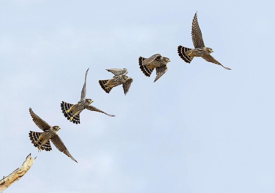 Image result for Falcon Flight