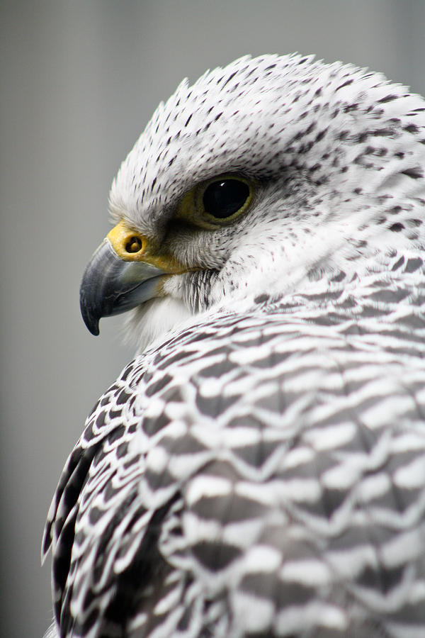 Birds Photograph - Falcon by Mindee Green