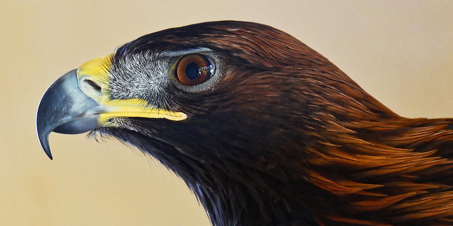 Falconer's Hawk - Harris Hawk by KJ Swan