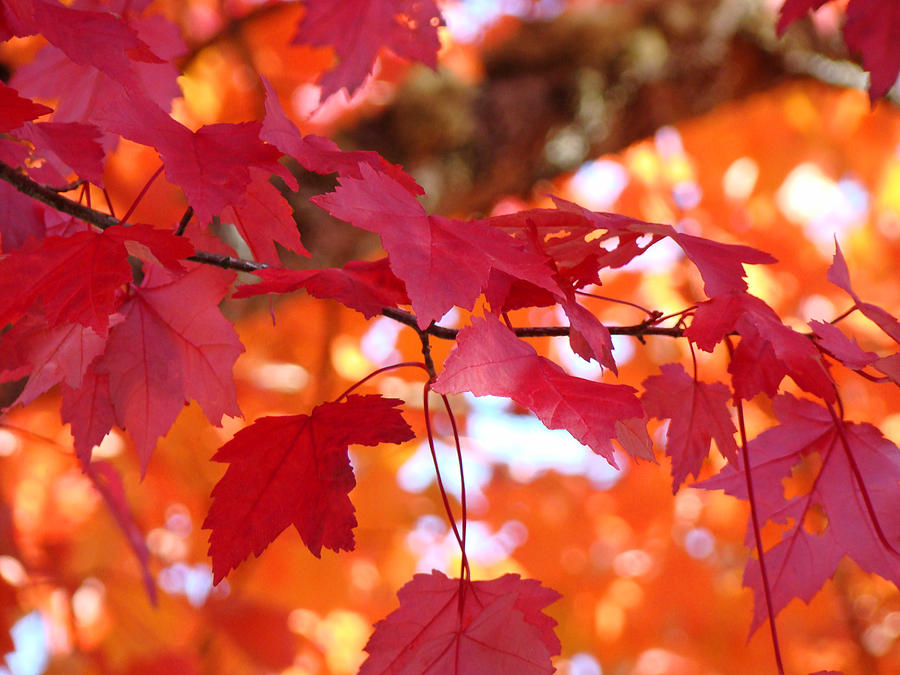 Fall Art Red Autumn Leaves Orange Fall Trees Baslee Troutman