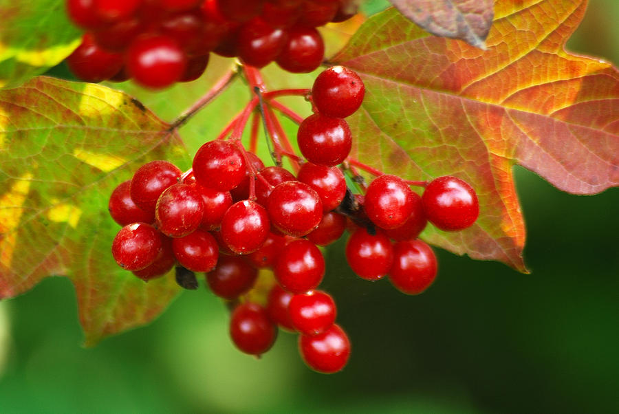 Autumn Photograph - Fall Berries 2 by Michael Peychich