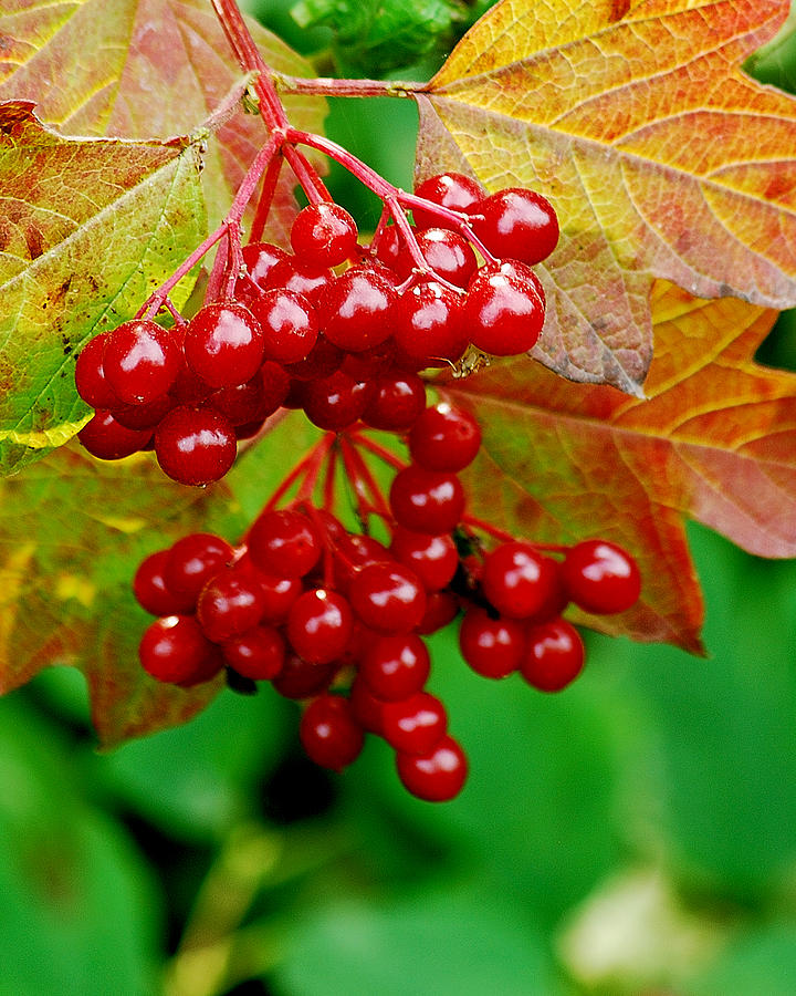 Autumn Photograph - Fall Berries by Michael Peychich