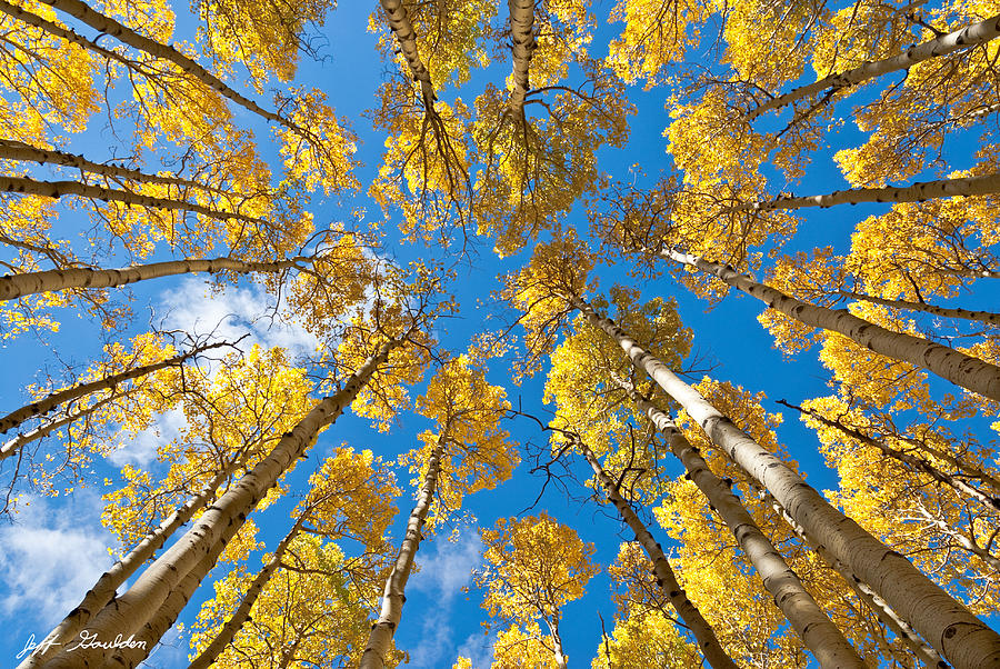 Arizona Photograph - Fall Colored Aspens In The Inner Basin by Jeff Goulden