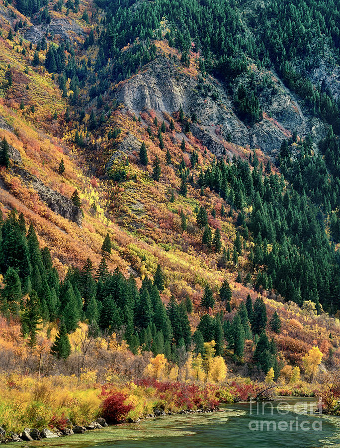fall colored aspens populus tremuloides stream provo county utah by Dave Welling