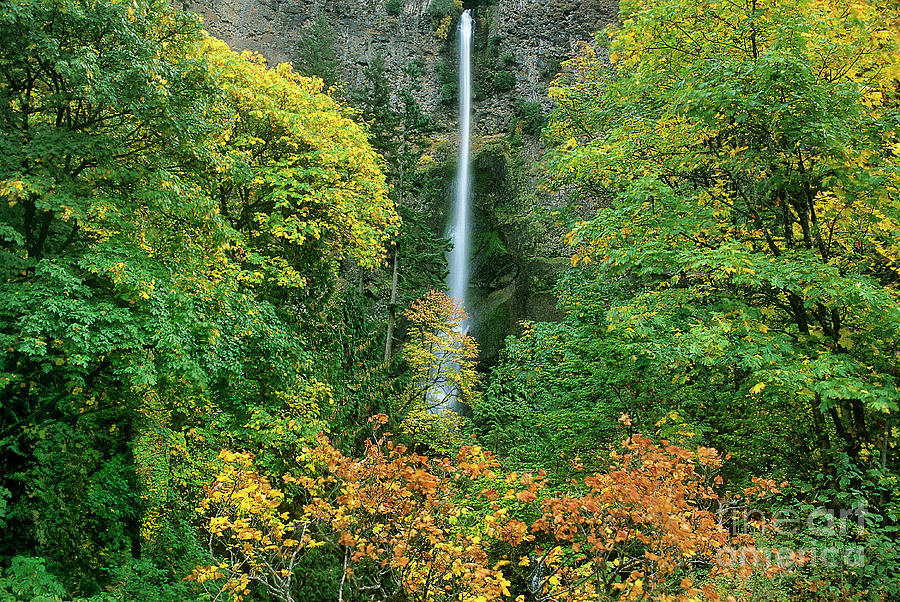 fall colored maple trees multnomah falls columbia rive by Dave Welling