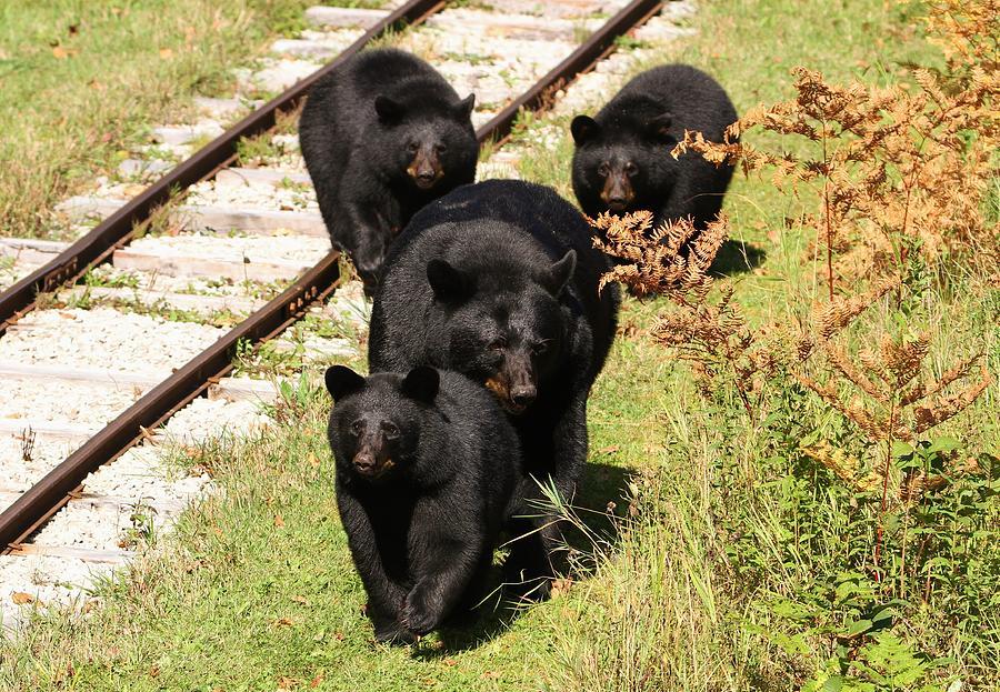 Black Bears Photograph - Fall Farewell by Teresa McGill