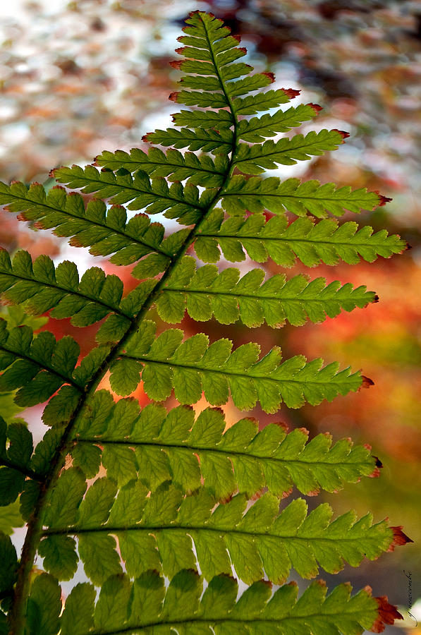 Fall Fern by Gwyn Newcombe