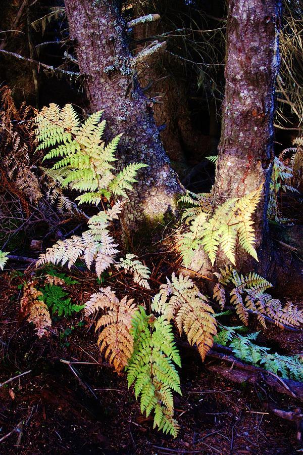 Trees Photograph - Fall Ferns by Lori Mahaffey