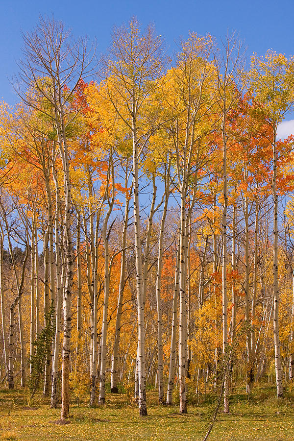 Trees Photograph - Fall Foliage Color Vertical Image by James BO Insogna