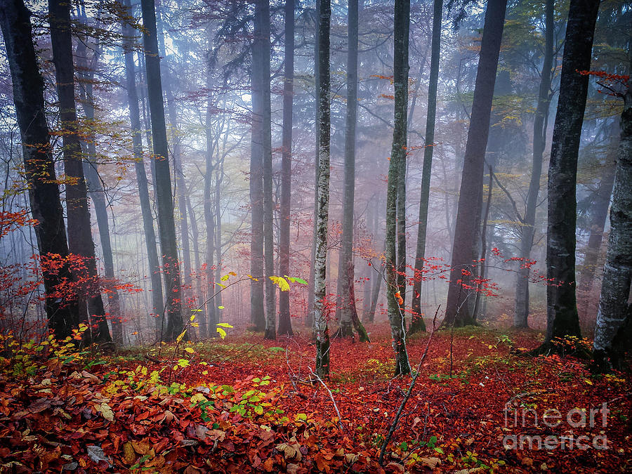 Forest Photograph - Fall Forest In Fog by Elena Elisseeva