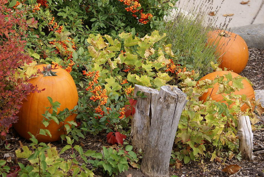 Pumpkins Photograph - Fall Garden by Cynthia Powell