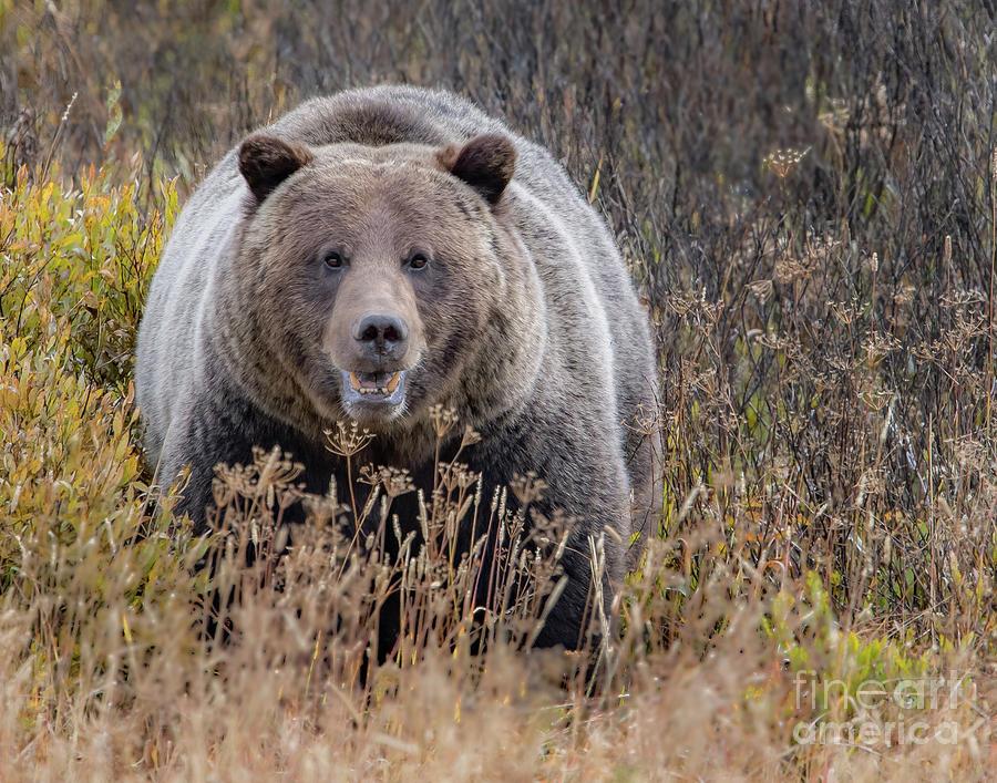 Fall Grizzly by Brad Schwarm
