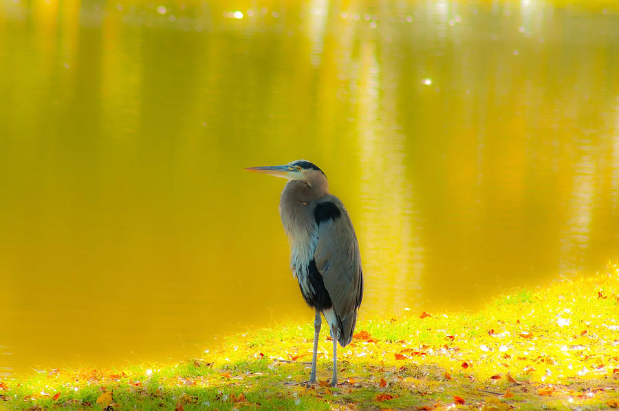 Pond Photograph - Fall Herron by John Busby