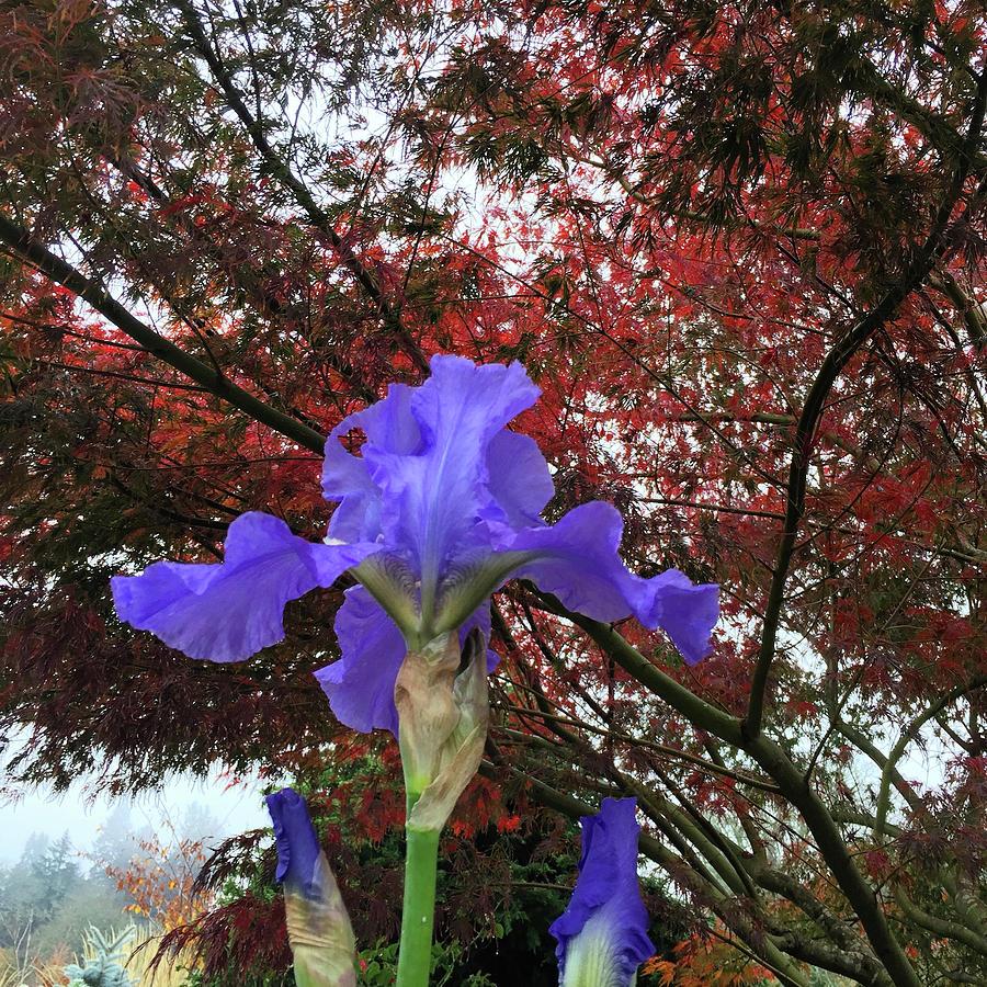 Fall Iris in the Oregon Garden by Elizabeth Rose