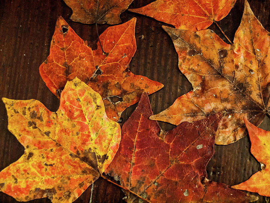 Fall Photograph - Fall Leaves by Randy Sylvia