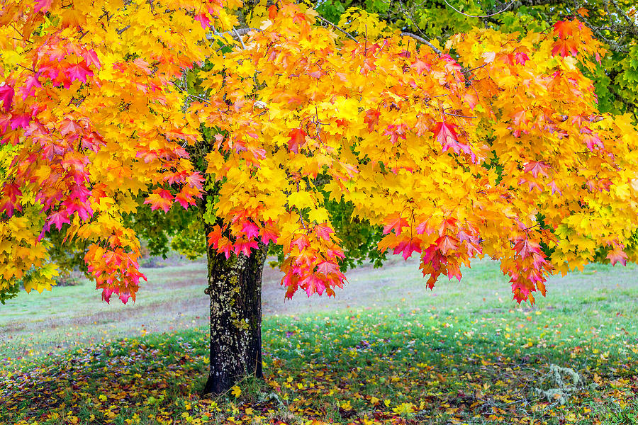 Fall Maple Tapestry - Textile