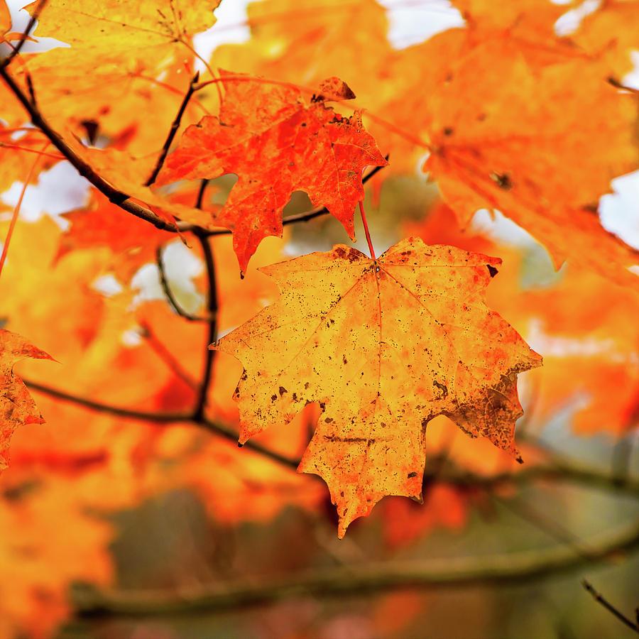 Fall Maple Leaf by Joe Shrader