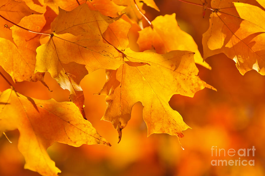 Fall Photograph - Fall Maple Leaves by Elena Elisseeva