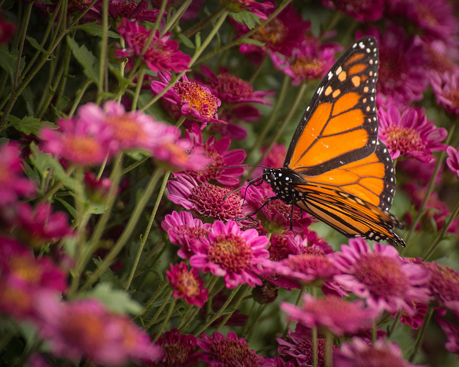 Fall Monarch  by Julie Andel
