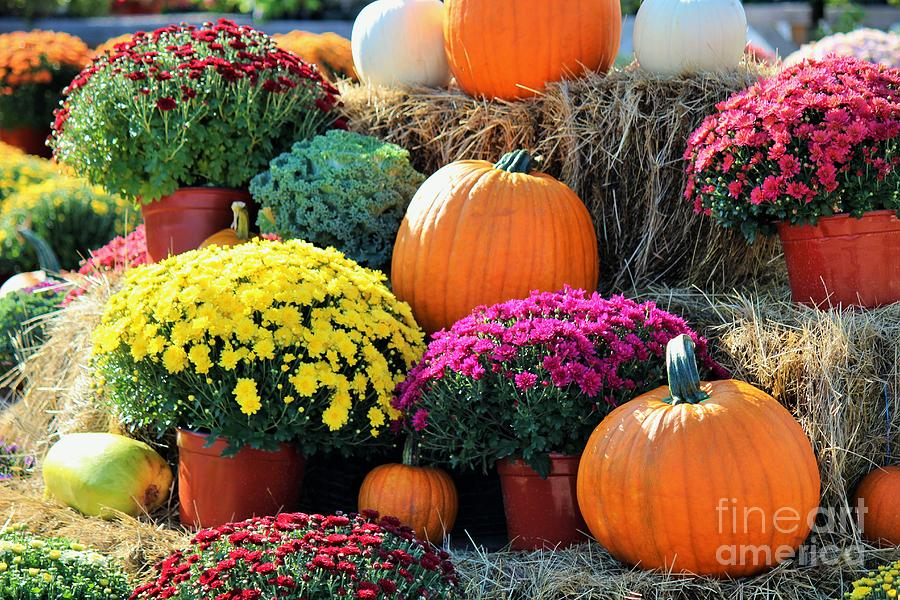 fall mums and pumpkins photograph by colleen snow