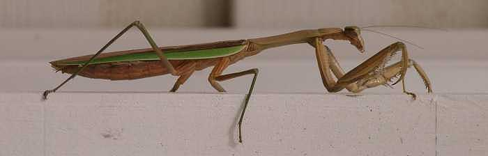 Insect Photograph - Fall Preying Mantis Ready To Strike by Bryce Meyer