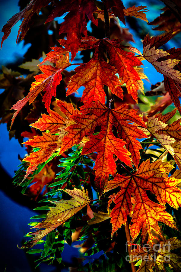 Maple Photograph - Fall Reds by Robert Bales