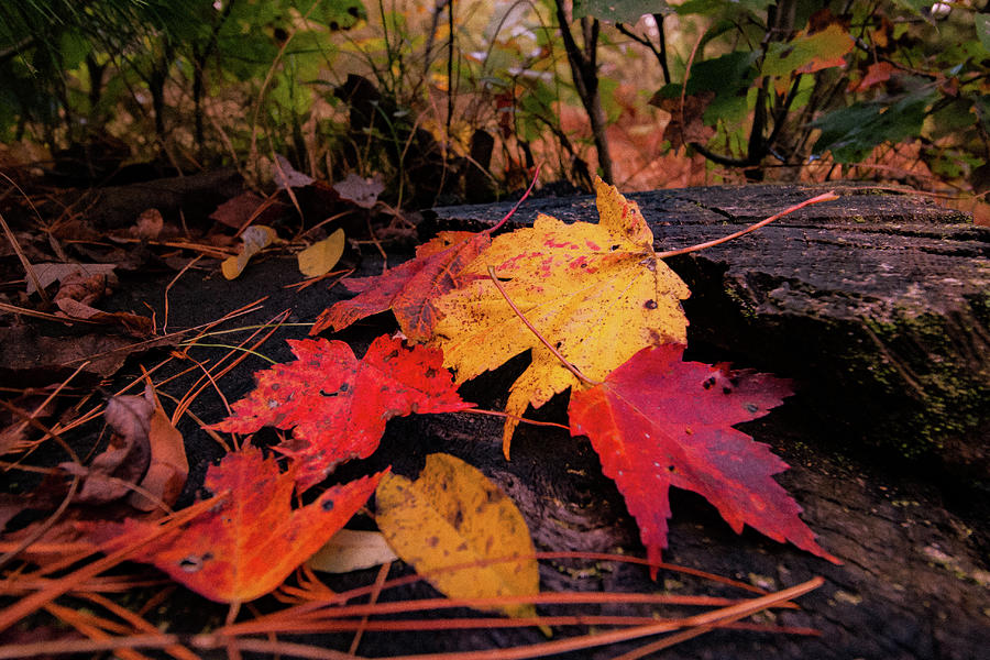 Fall Splendor by Neal Nealis