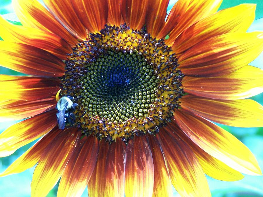 Sunflowers Photograph - Fall Sunflower by Vijay Sharon Govender