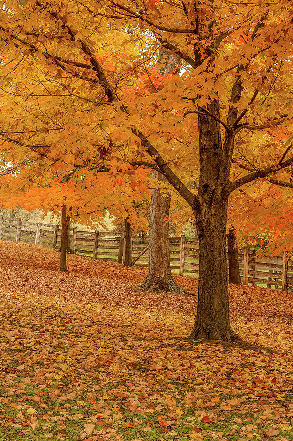 Fall Photograph - Fall Tree by Henry Fitzthum