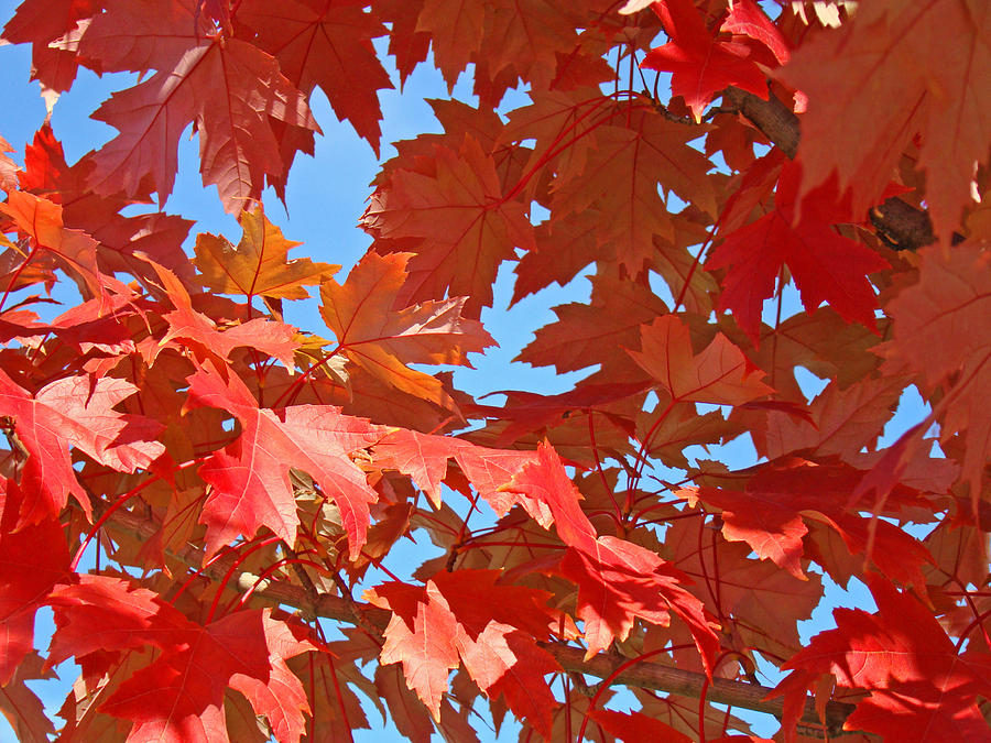 Autumn Photograph - Fall Tree Leaves Red Orange Autumn Leaves Blue Sky by Baslee Troutman