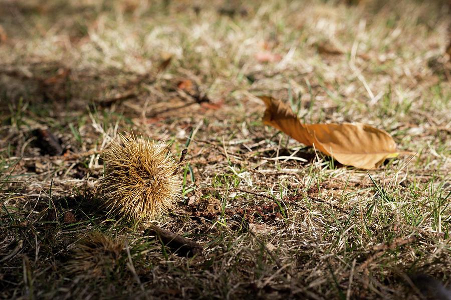 Fallen chestnut by Helga Novelli