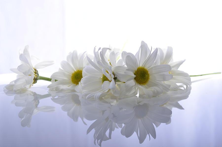 Flower Photograph - Fallen Daisies by Paulina Roybal