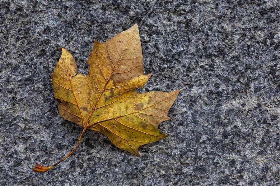 Fall Photograph - Fallen Leaf by Robert Ullmann