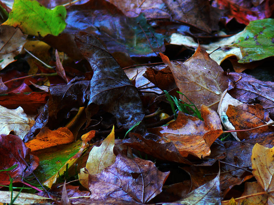 Autumn Leaves Photograph - Fallen Leaves by Natalie LaRocque